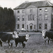 Hereford Cows on the Lawn