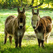 two-donkeys